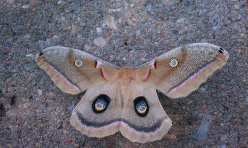 Antherea polyphemus, a Polyphemus moth sent in by my friend Manny, who found this handsome man on his car today. (Sexing this species is easy — fuzzy antennae are male, smooth antennae are female.) First cool thing about this moth: Because of its brilliant eye spots, this moth was named after the cyclops Polyphemus from The Odyssey. Additionally, Polyphemus moths are truly giant, with an average wingspan of six inches! Each caterpillar of this species will eat 86,000 times its own body weight in oak, birch, maple, or willow leaves before it reaches metamorphosis. Adult moths do not eat at all, because they emerge from their cocoons, mate, and lay eggs over the course of a single day. Most insects with an accelerated mating cycle don't have mouth parts and cannot eat after completing metamorphosis, including mayflies and cicadas. This beautiful monster is quite the specimen, indeed. Thanks for the picture, Manny! More posts to come, as my awesome friends have been sending me some great bug stuffs lately. (^_^)