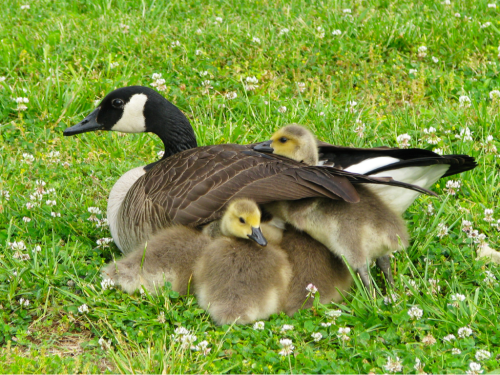 Goslings and mother goose