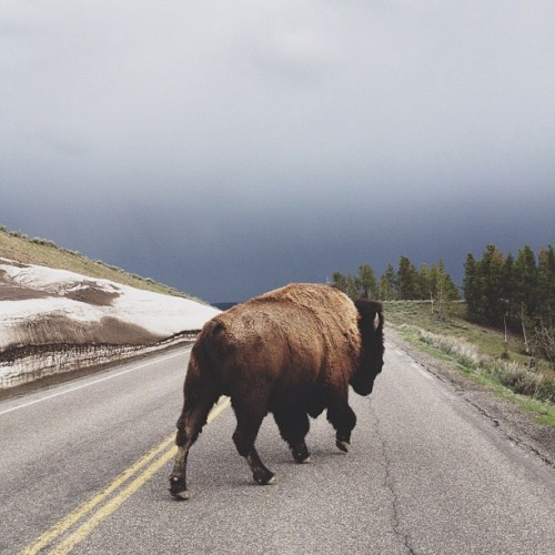 kevinruss:  Street walker (At Yellowstone National Park)