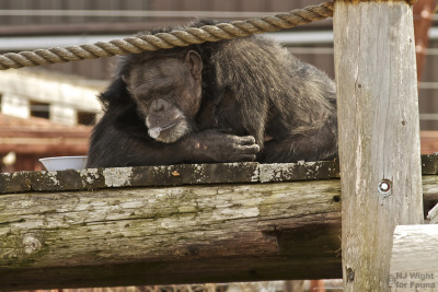 faunachimps:  This is Rachel, a 30 year-old chimpanzee who lives at Fauna. Prior to coming to the sanctuary in 1997, Rachel endured 11 years in isolation as a research laboratory subject enduring horrendous treatments, including being anesthetized 235 times during testing for artificial sweeteners for NutraSweet. Although she will never likely recover from the emotional trauma of this chapter of her life, she is now out of harms-way and gets to hang-around out in the sunshine blowing bubbles! Read more about Rachel's story here: http://www.faunafoundation.org/html/newsletter15.html   Anyone out there a fan of nutrasweet??