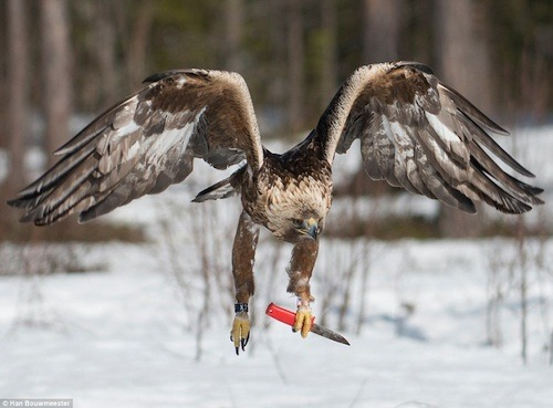 Yes, this is a real photo of an eagle wielding a knife. Somebody's fucked. While taking pictures in Västerbotten, Sweden, Dutch photographer Han Bouwmeester failed to maintain control of his weapon. And this golden eagle took it from him. Via