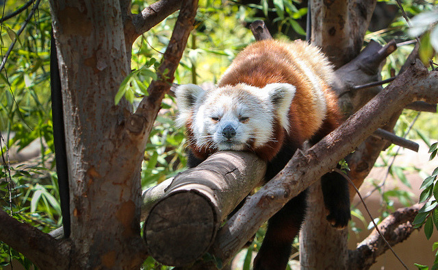 sdzoo:  Red Panda by Noah M on Flickr.