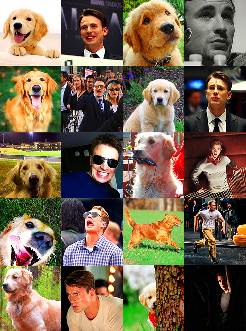 Golden Retrievers that look like Chris Evans  I shall name my next golden Chris Evans.