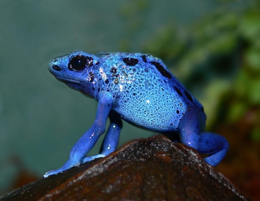 llbwwb:  Blue Poison Dart Frog By:tiadoc.com  Azureus, anyone?
