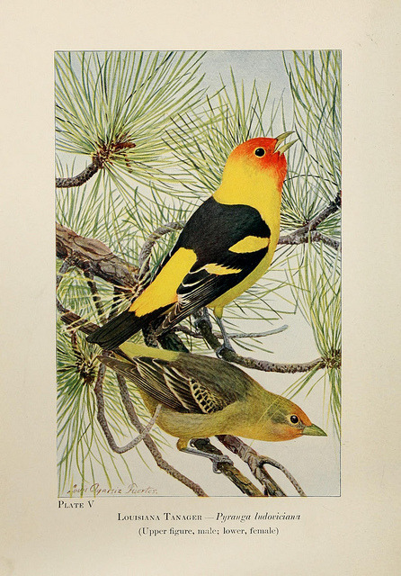 dendroica:  Western Tanager by BioDivLibrary on Flickr. Birds of the Rockies,. Chicago,A. C. McClurg and co.,1902..biodiversitylibrary.org/page/6515153