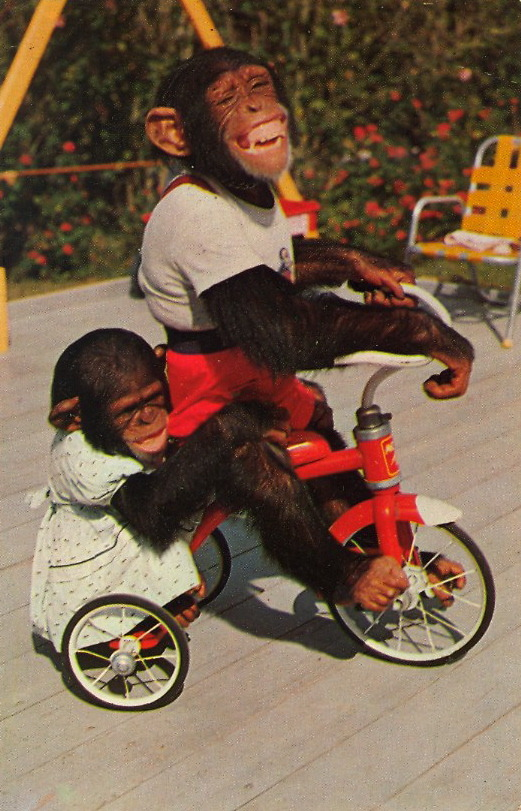TRICYCLE CHIMPS  Chimpanzees at the Monkey Jungle, 22 miles South of Miami, Florida.