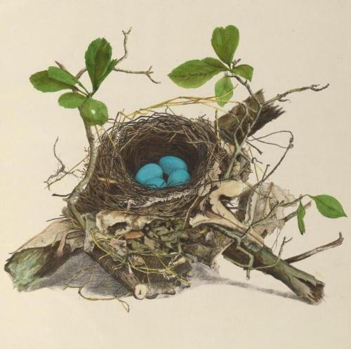 "biomedicalephemera:  Nest and eggs of the wood thrush (Hylocichla mustelina) The wood thrush is a member of the same family as robins and other thrushes, but has a uniquely delicate and beautiful song. Henry David Thoreau once said,  ""Whenever a man hears it he is young, and Nature is in her spring; wherever he hears it, it is a new world and a free country, and the gates of Heaven are not shut against him.""  Like many thrushes, the wood thrush is serially monogamous, staying with a single partner during each breeding season, and raising chicks together. The full three-part song of the male is rarely heard before he establishes a new territory at the beginning of each year, when the northern migration is complete. Illustrations of the Nests and Eggs of Birds of Ohio, With Text. Howard Jones, illustrated by Mrs. N. E. Jones, 1886."