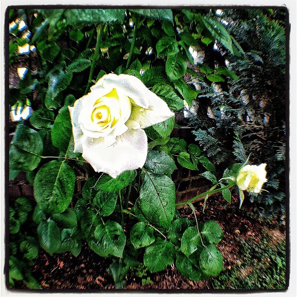 Roses (Taken with instagram)