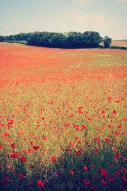 itspola:  earth-ism:  A Poppy Field  Aka an Amapola Field :D
