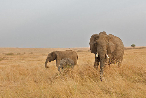 Elephants in the Masai Mara (by rdknight)