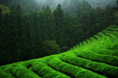 Boseong Green Tea Plantation - Explored!!! (by breeze-O)