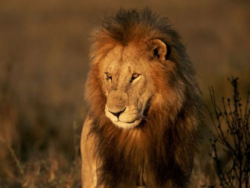 funnywildlife:  Lions are threatened throughout most of their African range. But nowhere is their condition as perilous as in Kenyan Maasailand, where this large male was photographed. Lions there, which number fewer than 150, are under imminent threat of extinction from Maasai herdsmen thought to be retaliating against prides who prey on their cattle.Photograph by John Eastcott and Yva Momatiuk