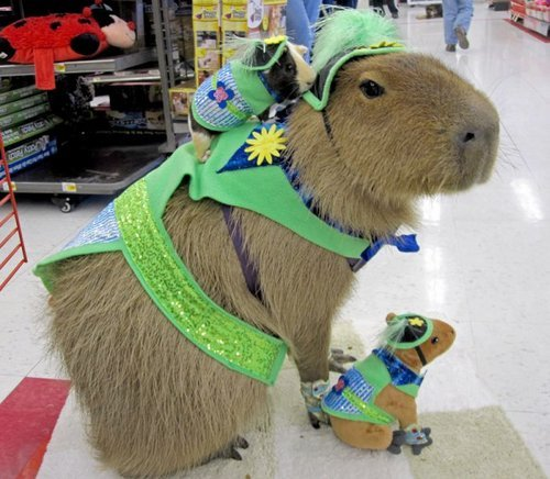 Where we're going, we don't need roads missexlibris:  Capybara of the Day