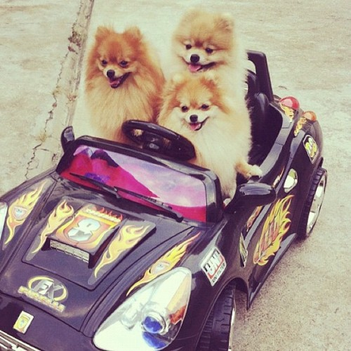 "tallwhitney:  I love a good ""dogs in a car"" pic  3 cool dogs."