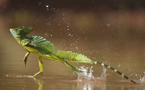 theanimalblog:  Green / double-crested basilisk (Basiliscus plumifrons) running across water surface, Santa Rita, Costa Rica.  Picture: Bence Mate/NPL / Rex Features  This looks so cool:)