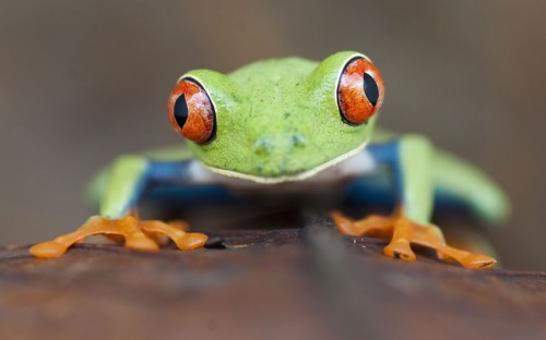 A red-eyed tree frog (Agalychnis callidryas) Santa Rita, Costa Rica.  Picture: Bence Mate/NPL / Rex Features