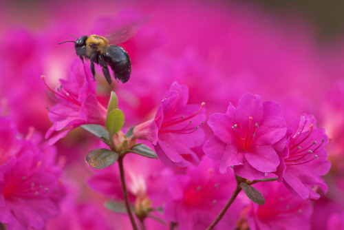 dendroica:  Busy As A Bee by vzonabaxter on Flickr.