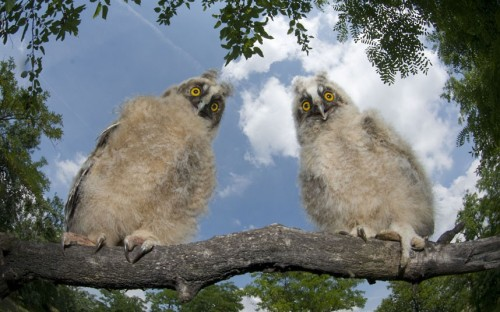 Two long-eared owl chicks (Asio otus) perching on a tree branch in daylight, Pusztaszer, Kiskunság National Park.  Picture: Bence Mate/NPL / Rex Features