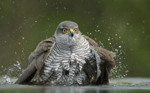 theanimalblog:  Female sparrowhawk (Accipiter nisus) bathing in water, Pusztaszer, Kiskunság National Park.  Picture: Bence Mate/NPL / Rex Features