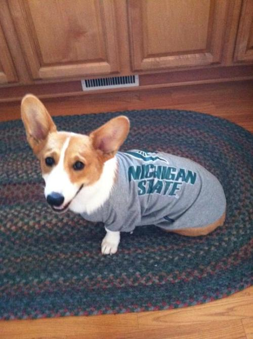 Spartan Corgi! Let's go MSU!  Submitted by: Kristin