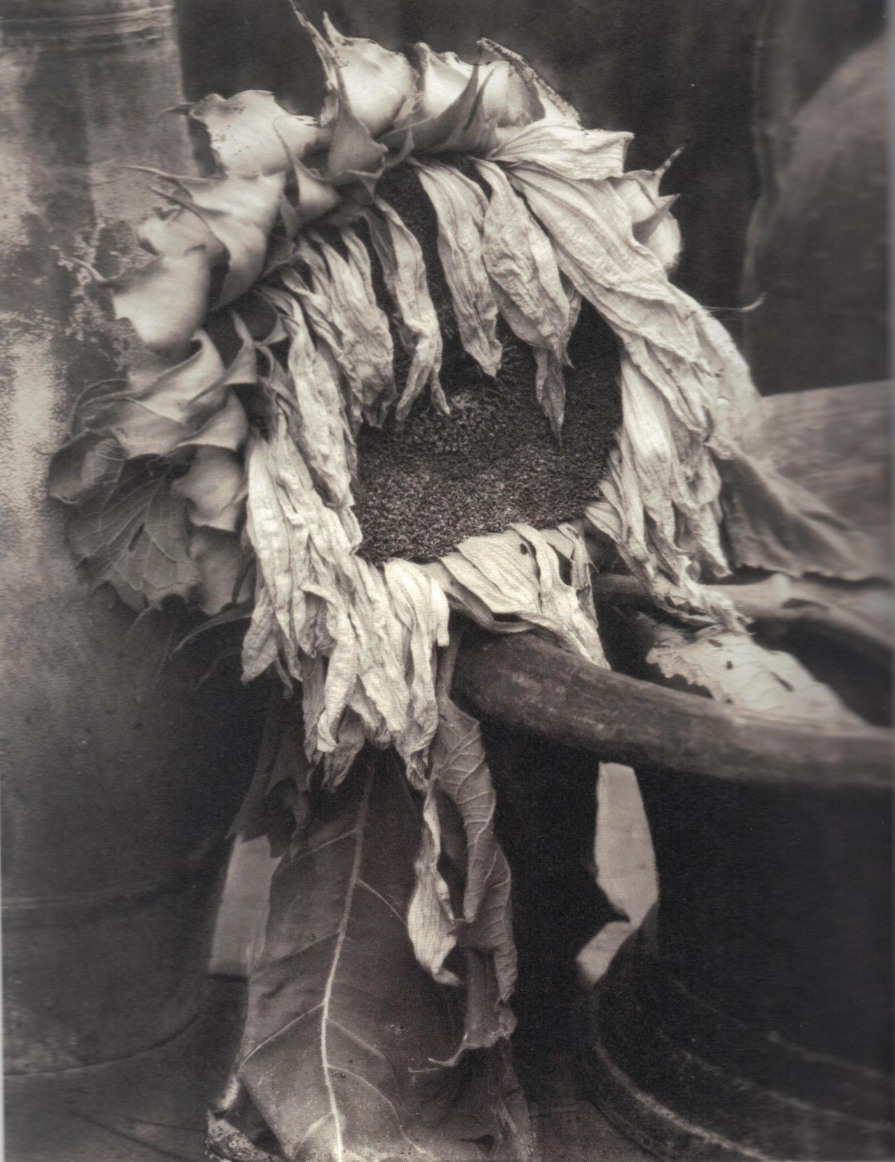 realityayslum:  Edward Steichen - Wilted Sunflower, c.1922. … from Edward Steichen: Lives in Photography, by Todd Brandow and William A. Ewing, Foundation for the Exhibition of Photography, and the Musee de l'Elysee, Lausanne, 2007.