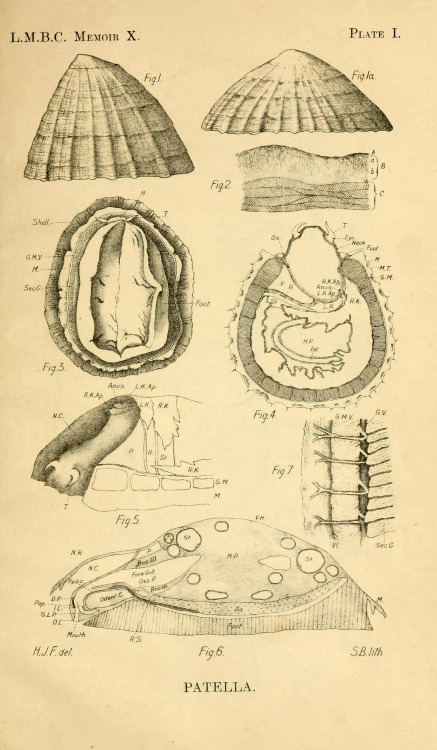 Patella, the common limpet by J.R. Ainsworth Davis and H.J. Fleure (1903)