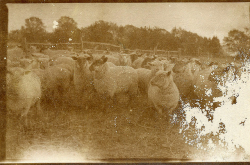 vintagefoundphotostories:  Sheep on Flickr.