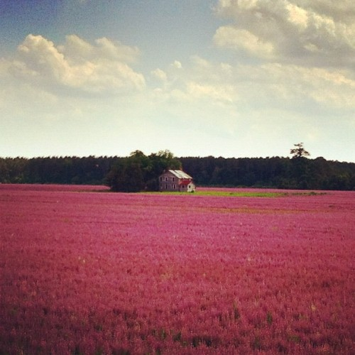 one800higgins:  Lavender fields.
