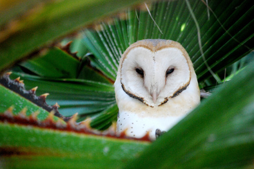 owl in my palm tree by Brisbane Falling on Flickr.