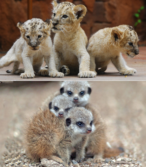 Who is cutest at being the 3 musketeers? Lion Cubs OR Meerkat Babies?cutest at playing follow the leader? Bear Cubs OR Baby Elephants? Lion Image (floridapfe)  Elephant Image (catherinebooker)
