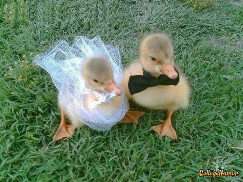 collegehumor:  Duckling Wedding I now pronounce you adorable.