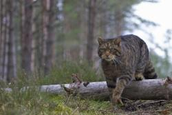 A wildcat on the prowl in the Caledonian pine forest Wildlife of the Great Glen photo gallery by Nigel Atkinson