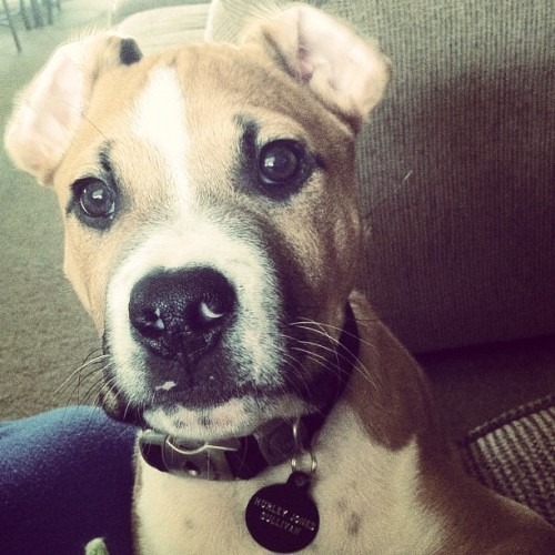 #princessleia #hurley 😊🐶👍 hahaha #pitbulllabmix #puppy  (Taken with instagram)