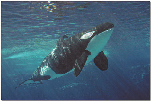 amor-vincit-0mnia:  Splash the orca by auntie rain on Flickr.