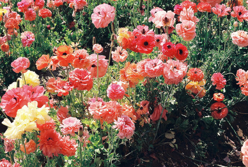 venturalize:  Blushing Pinks by earthtoandrea on Flickr.