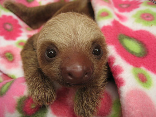 your-daily-baby-sloth:  Couldn't restrain myself from posting one more ;)  omfg its a baby sloth in a pink flower blanket i can't deal.