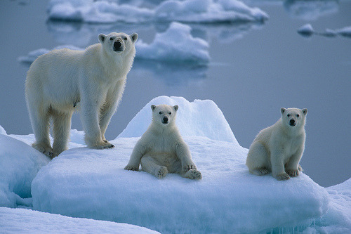 kingdomy:  Polar bears on ice floe (by Exodus Travels)