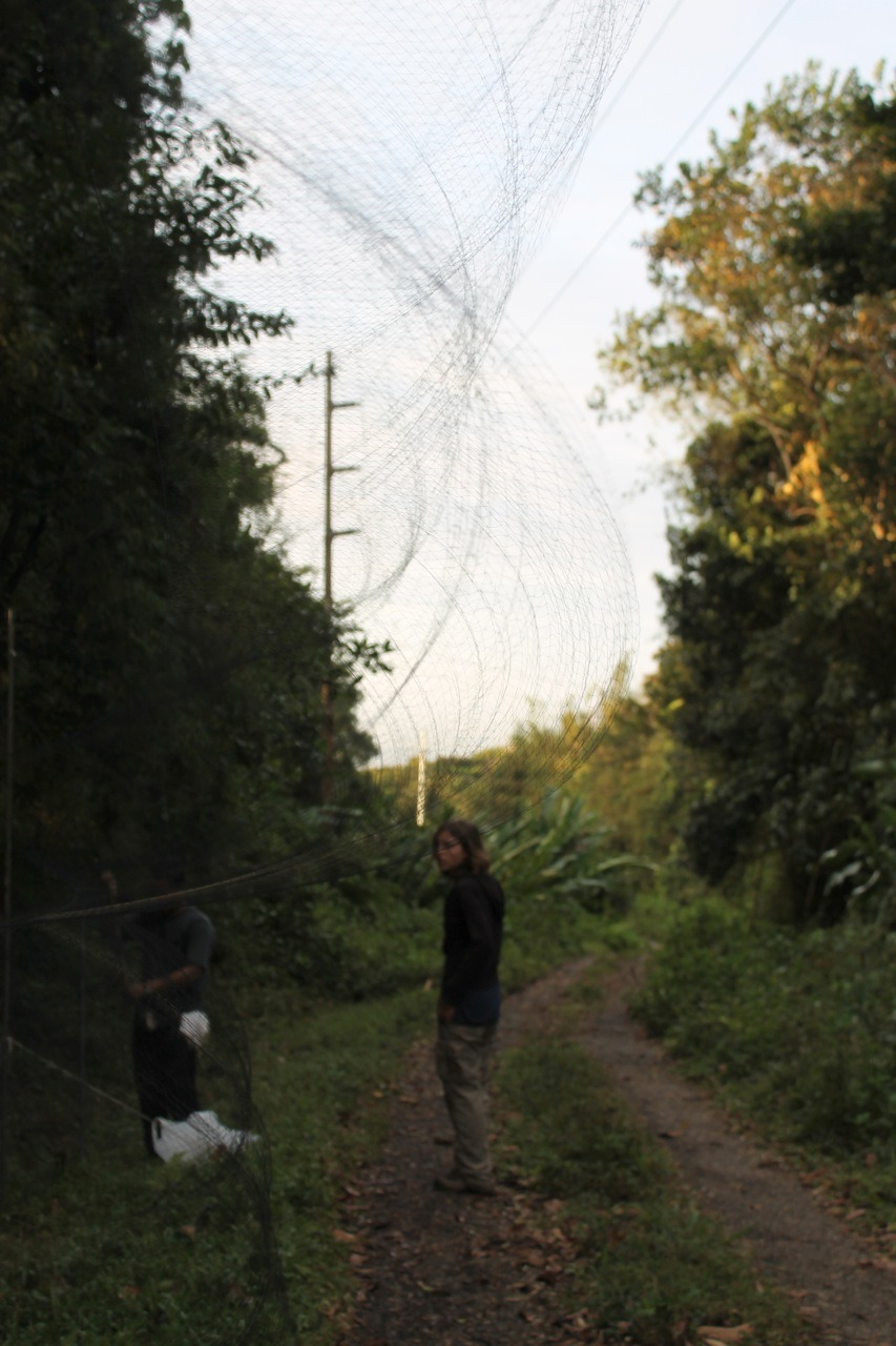 Putting up mist nets to catch and census birds on Trinidad. Feb 2012.