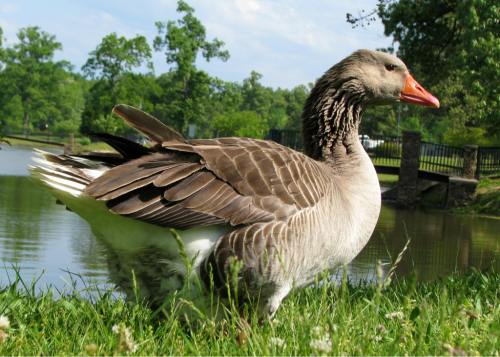 Profile of a Greylag goose