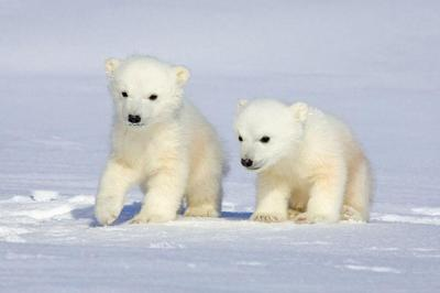 llbwwb:  Polar Bear Cubs, photo by Howard Ruby @www.howardruby.com