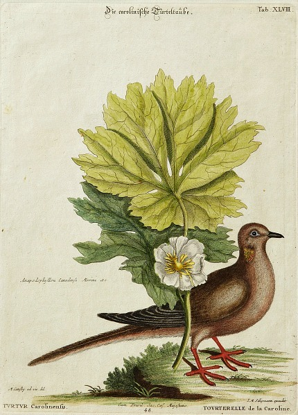 stilllifequickheart:  Mark Catesby Doves 1749-76