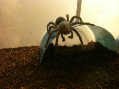 "Tiny spider baby climbs onto her hut and turns around and just PLOPS DOWN ONTO HER BELLY and dangles her legs over the edge like ""Oh hey how're you doin' I'm just gonna hang out here. c:"" GOSH JEEZ"