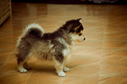 biophilie:     This is a Pomsky.  It's a mix of a Pomeranian and a Siberian Husky.  Pretty much the most adorable little thing ever!    How the fuck does that work