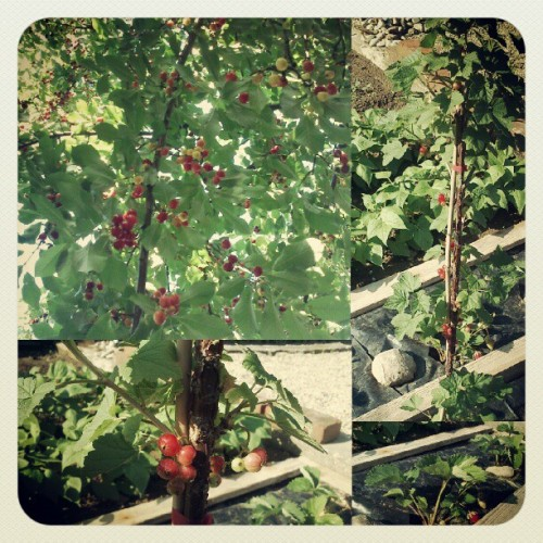 Hello berries! :3 #currant #strawberry #sourcherry (Taken with instagram)