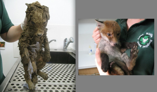 cuteoverdose:  Before and after: baby fox was found fighting for its life in a mud pit at an urban development site.more cute here