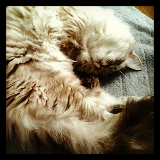 Trilly Curl My #Ragdoll #kitten Trilly sleeping in one her usual curl positions. #Cats #Seal lynx (Taken with instagram)