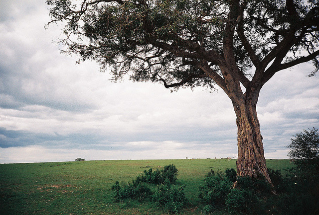 fricti0nburn:  Tree by saviorjosh on Flickr.