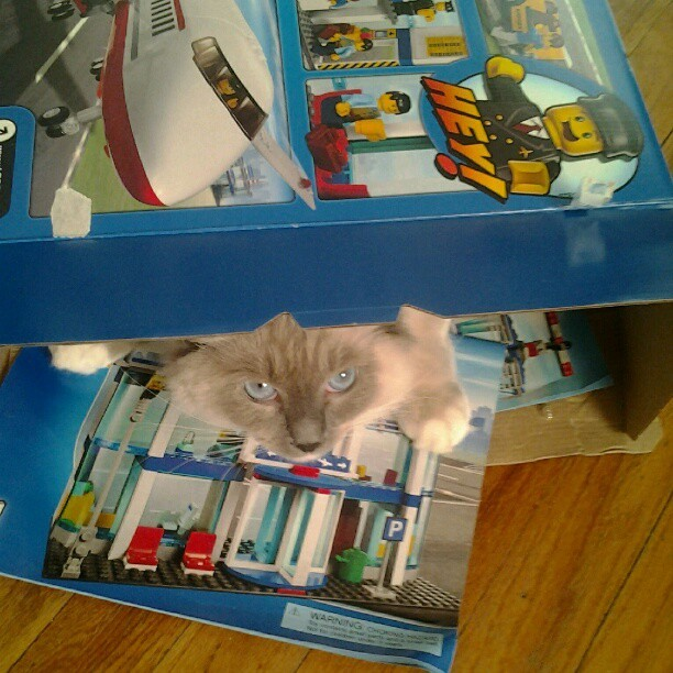 My son's #kitten #Nugget in his #Lego box #Ragdoll #Blue #Mitted # Cute #cats  (Taken with instagram)