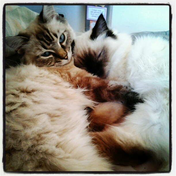 #Sister #Snuggle- My #Ragdoll #kittens #Trilly & #MoonFlower #MoonPie(Moopy) #cats #Cute #sleepy #Sweet #Seal #Lynx #Colorpoint (Taken with instagram)