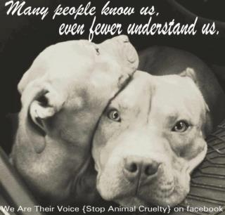 Famous Quotes About Pit Bulls  Pit bulls are especially good